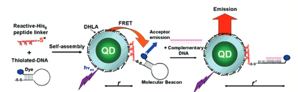 Quantum Dot Bioconjugate Self Assembly